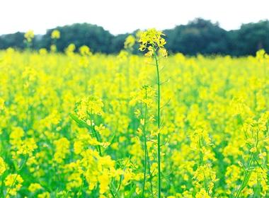 Hoa cải vàng khoe sắc trước nắng