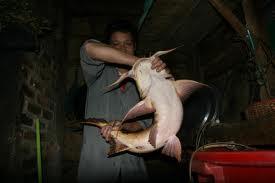 Việt Nam Xanh - Tàn sát cá tiến vua để… đút vào miệng nhà giàu (4) (Hình 3).