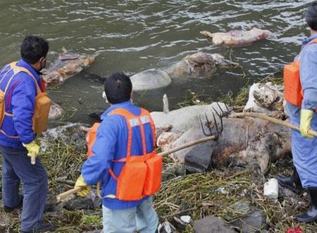 Xác lợn chết được thu hồi trên dòng sông Hoàng Phố.