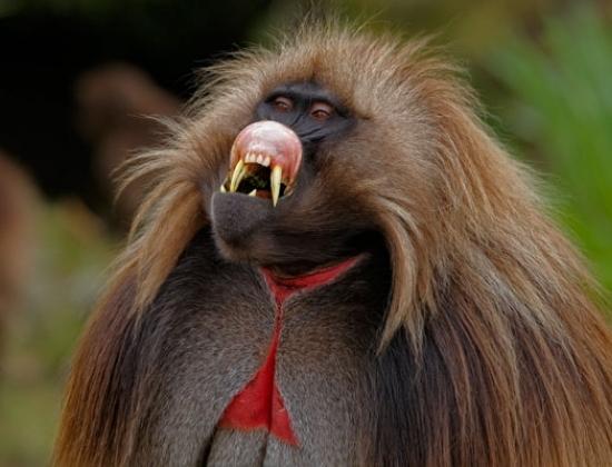 Khỉ Gelada là loại khỉ duy nhất chép môi khi giao tiếp.