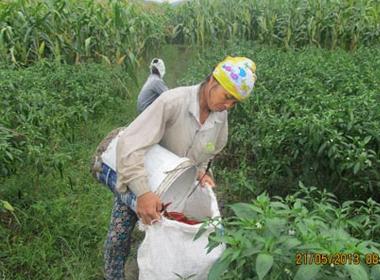 Nông dân xã Vĩnh Thịnh, huyện Vĩnh Lộc (Thanh Hóa) thu hoạch ớt xuất khẩu.