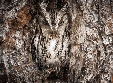 Con cú Eastern Screech Owl này đang ẩn thân tiệp với môi trường quanh nó để bắt mồi.