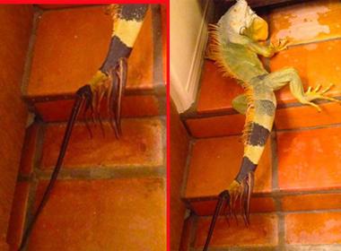 Kỳ nhông 8 đuôi được phát hiện ở Mỹ.
