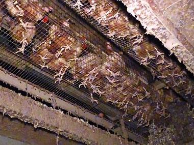 Kinh dị cách nuôi gà tại trang trang trại sản xuất trứng lớn nhất nước Úc
