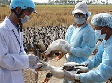 Cúm gia cầm H5N6 tái phát tại Lào Cai