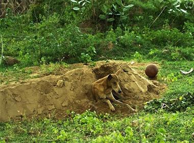 Chú chó nhịn ăn ngồi canh mộ chủ suốt 15 ngày