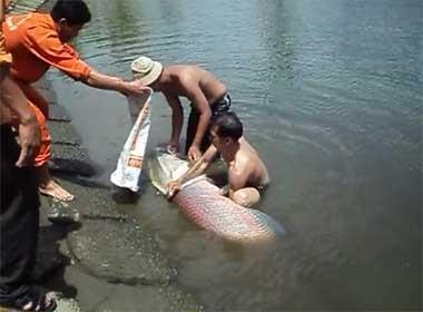 Video người Sài Gòn giải cứu cá hải tượng châu Mỹ