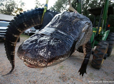 Cá sấu khổng lồ nặng gần nửa tấn thiết lập kỷ lục thế giới mới