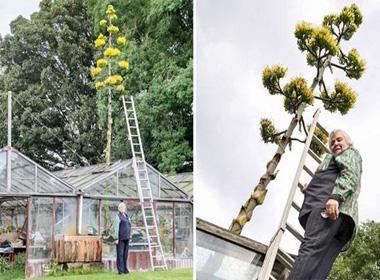 Cây xương rồng khổng lồ 100 năm ra hoa một lần