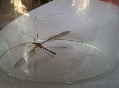Muỗi khổng lồ ở Quảng Bình là loài ruồi 'si tình'?
