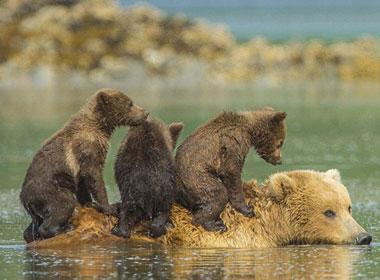 Mẹ gấu làm tàu đưa ba con qua sông