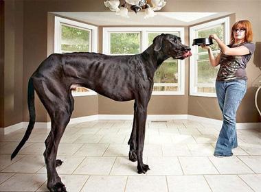 Chú chó cao nhất thế giới đã qua đời ở tuổi thứ 5