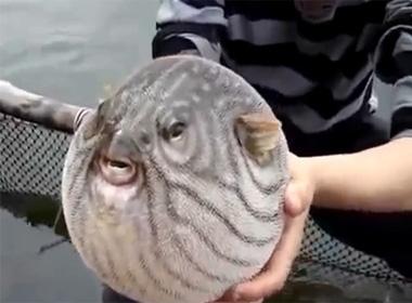 Hài hước với chú cá nóc trương phình như quả bóng