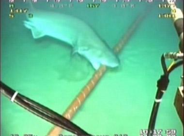 Cận cảnh cá mập trắng cắn đứt cáp quang trên biển