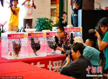 Cuộc thi sắc đẹp kỳ lạ dành cho gà ở Trung Quốc