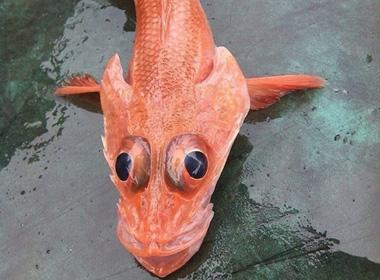 Cá chép mắt rồng gây xôn xao dư luận