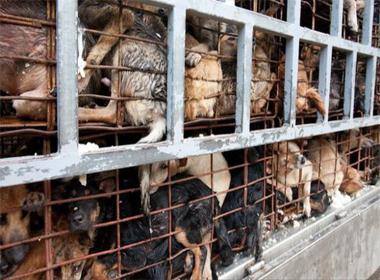 Nạn trộm chó ghê rợn ở Việt Nam lên truyền hình Anh