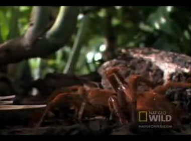 Xem nhện 'khủng' ăn sống cả chuột