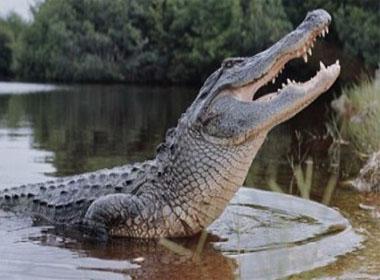 Đề phòng cá sấu dài 1,2 m sổng chuồng tấn công