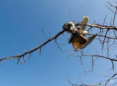 Ảnh trăn siết chết bồ câu bé nhỏ trên cành cây
