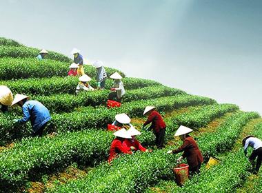 Chè Việt Nam đã được thông quan vào Đài Loan