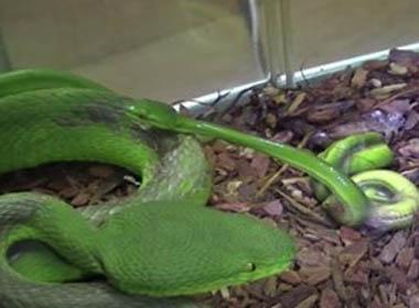 Kinh hoàng rắn lục đuôi đỏ kịch độc đẻ đàn con nhung nhúc
