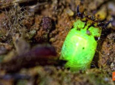 Sinh vật kỳ lạ tự phát sáng để bắt mồi