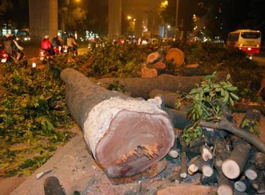 Hà Nội sẽ tiếp tục chặt hạ nhiều cây xanh hàng trăm năm tuổi