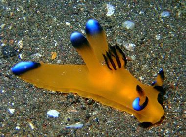 Ốc sên biển ngộ nghĩnh có ngoại hình giống Pikachu