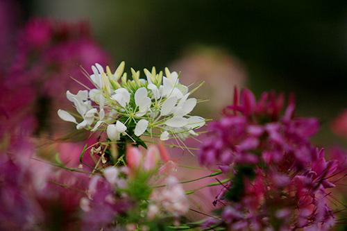 Đẹp mê hồn sắc màu hoa Túy Điệp - 5