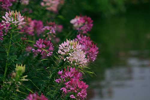 Đẹp mê hồn sắc màu hoa Túy Điệp - 14