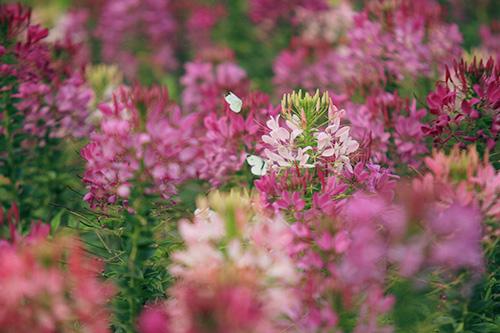 Đẹp mê hồn sắc màu hoa Túy Điệp - 6