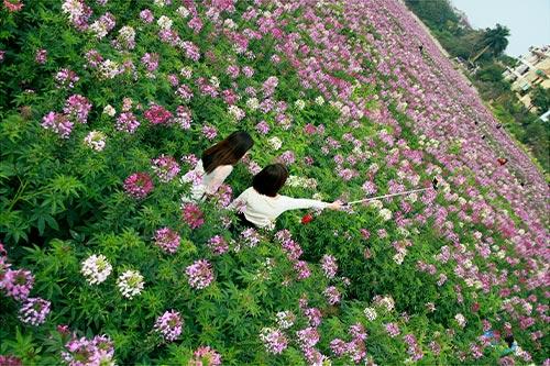 Đẹp mê hồn sắc màu hoa Túy Điệp - 9