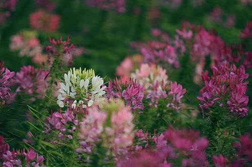 Đẹp mê hồn sắc màu hoa Túy Điệp - 2