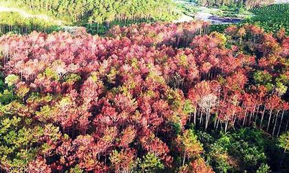 Khởi tố vụ án đầu độc hơn 3.400 cây thông gây chấn động