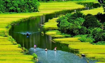 Không phải miền rẻo cao, đây mới là địa điểm ngắm lúa vàng đẹp nhất Việt Nam?