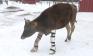 Chú bò chạy được dù mất 2 chân