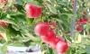 Vườn táo Nhật chín đỏ mùa thu