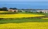 Vi vu đảo Jeju mùa xuân đẹp ngây ngất