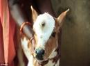 Kỳ lạ với bê con 3 mắt kỳ lạ ở Ấn Độ