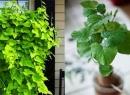 Mẹo trồng cây khoai lang vừa làm cảnh vừa ăn lá