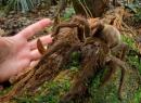 Phát hiện nhện khổng lồ dài 30cm, nặng bằng một chú cún con
