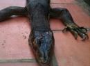 Bắt được quái vật 'kỳ đà lai cá sấu' ở Bắc Giang