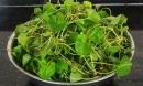 Loại rau rẻ tiền, dễ kiếm chữa bách bệnh nhà nào cũng nên trồng