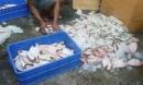 'Hô biến' gần 1 tấn cá thối thành thức ăn