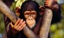 Cao khỉ có phải là thần dược chữa được bách bệnh?