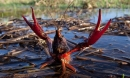 Thủy quái tôm lai cua lén lút nuôi ở VN nguy hại ra sao?