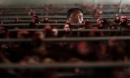 Trung Quốc khẩn cấp đóng cửa chợ gia cầm vì H7N9