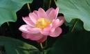 Hoa sen: Đẹp mộc mạc, thanh cao, hiếm có loài hoa nào sánh bằng