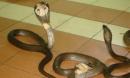 Rắn bò vào nhà đẻ ra cả đàn rắn con lúc nhúc liệu có xui xẻo?